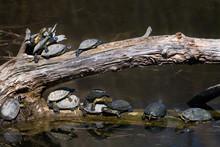 Group Of European Pond Terrapin Water Turtles Sunbathing On A Tree In The Danube Wetland National Park In Austria
