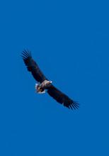 White Tailed Sea Eage Flies Wi...