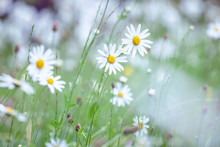 A Spring Meadow After The Rain - Daisies And Grasses With Drops