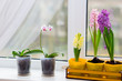 beautiful flowers hyacinths of purple, pink and yellow grow on a windowsill in a yellow wooden box, next to young orchids