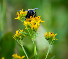 Carpenter Bee On A Yellow Flow...