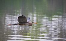 Great Blue Heron Flying Across Acworth Lake In Georgia.