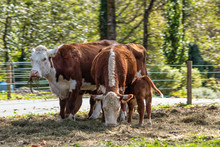Two Cows And A Calf In Summer