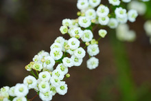 View Of The Small White Flowers Of A Spirea Bridal Wreath Bush