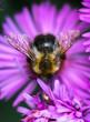 Leinwandbild Motiv bumblebee on a flower