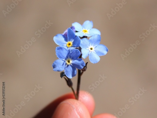 Obraz High Angle View Of Cropped Hand Holding Forget-me-not Flowers - fototapety do salonu