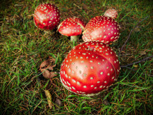 Close-up Mushrooms On Grass