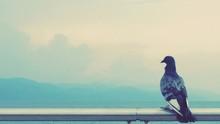 Pigeon On Railing Against Sky
