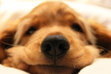 Close-up Portrait Of Brown Dog Relaxing On Bed At Home