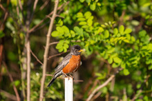 American Robin On A Post With Leaves On The Background