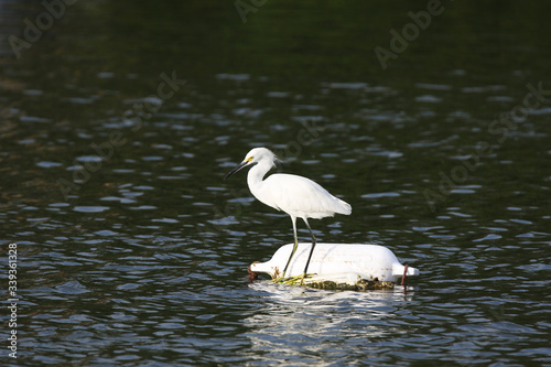 Photo Snowy Egret adrift on a bout