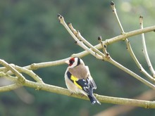 Gold Finch Perching On Branch