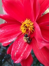 Close-up Of Bumblebee On Red Flower Blooming Outdoors