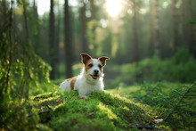 Dog In The Forest. Jack Russel...