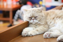 High Angle View Of Persian Cat Sleeping On Table