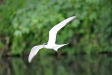 Close-up Of Tern Flying Against Trees