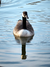 Canada Goose Swimming In Lake