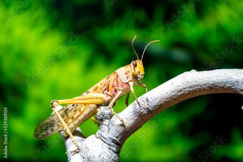 Fotomural Closeup of a locust on a branch