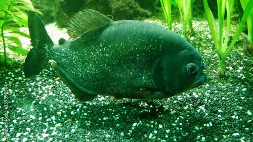 Fototapeta Close-up Of Piranha Fish In Aquarium