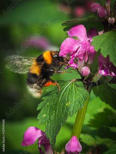 Canvas Print Close-up Of Honey Bee Pollinating Flower