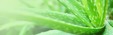 Banner Of Green Aloe Vera In The Nature