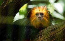 Close-up Portrait Of Tamarin Monkey On Tree