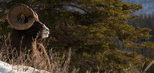 Panoramic View Of Bighorn Sheep On Snow Covered Field