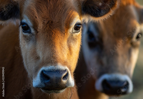 portrait of a cow with blurred cow in background - colour Fotobehang