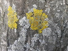 Close-up Of Yellow Moss Growing On Tree Trunk