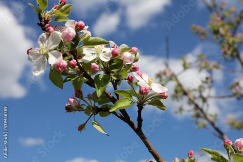 Photo Apfelbaum im Frühling
