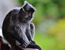 Close-up Of Silvery Lutung Sitting On Railing