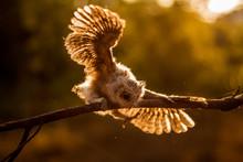 Young Owl Balancing Its Wait O...
