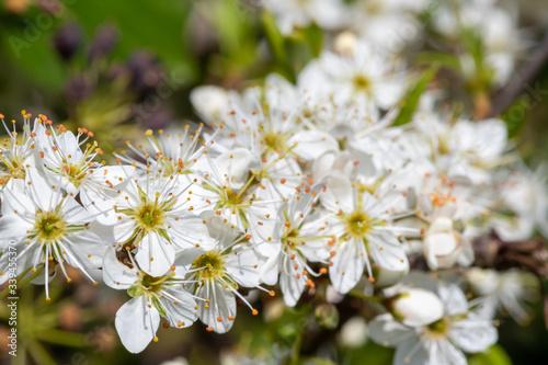 Close up of pollinated sloe blossom (prunus spinosa) Fototapet