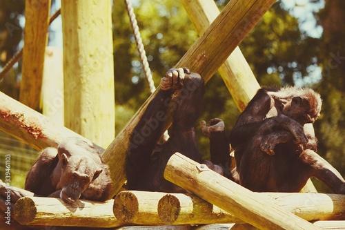 Cuadros en Lienzo Monkey On Bamboos In Zoo