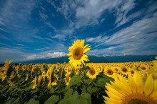Sunflower Field Against Sky