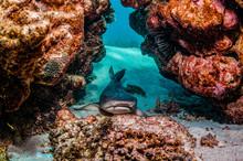 White Tip Reef Shark Resting U...