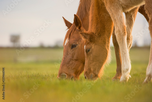 Photo English Thoroughbred horse, mare with foal grazing together at sunset in a meadow