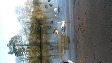 Swans And Canada Geese Swimming In Lake