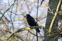 Rook Sitting On The Branch Of ...