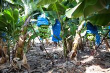 Banana Plantation With Hanging...