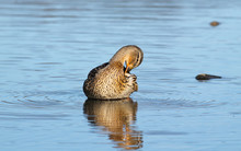 Mallard Duck Female Sitting In...