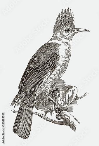 Fotografie, Tablou Hoopoe starling, fregilupus varius, an extinct bird from the mascarene islands in the indian ocean