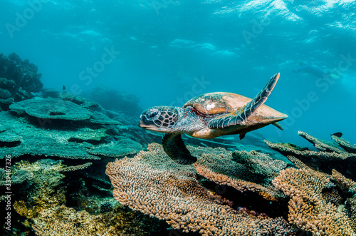 Foto Green sea turtle swimming among colorful coral reef in beautiful clear water