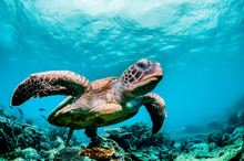 Green Sea Turtle Swimming Amon...