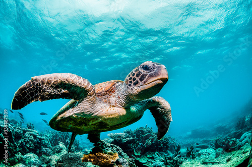 Obraz na plátně Green sea turtle swimming among colorful coral reef in beautiful clear water