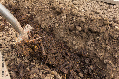 Compost being added to a dug trench on an allotment Canvas Print