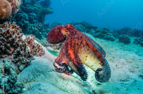 Reef octopus swimming over sandy sea floor Fototapeta