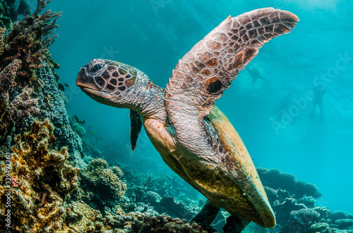 Green turtle swimming among colorful coral reef formations in the wild