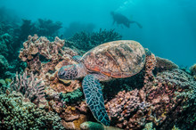 Turtle Swimming Around A Colorful Reef With Divers Watching In The Background