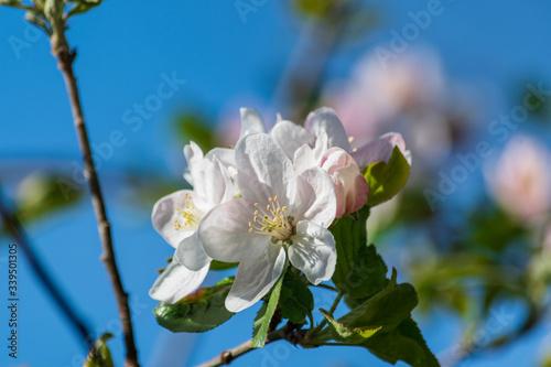 Photo Weisse Blüten am Apfelbaum